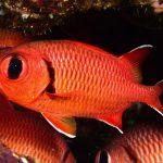 Soldierfish, Myripristis pralinia, studied here
