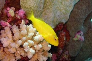 poisson-jaune