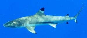 Requin Pointe Noire - Polynésie française - C.Berthe